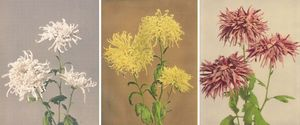 Chrysanthemum4