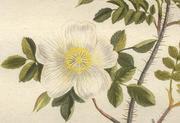 オランダ人の農学者ジャン・コップス著 J. C. Sepp, 1804から、「稚児車」 サハリンの代表的な植物