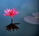 睡蓮は森や泉や山にすむ精霊Nymph(ニンフ)が語源で Nymphaea(ニンファエア)といいます。